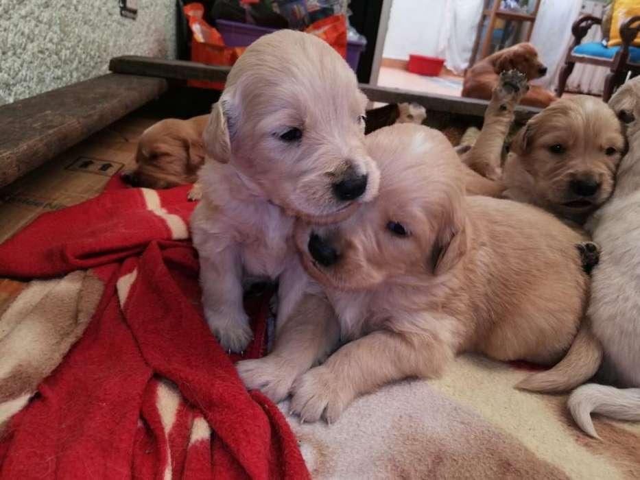 Vendo Golden Retriver Cachorros