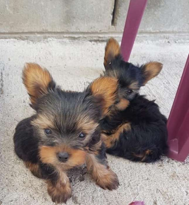 Yorkshire Terrier cachorritos 500