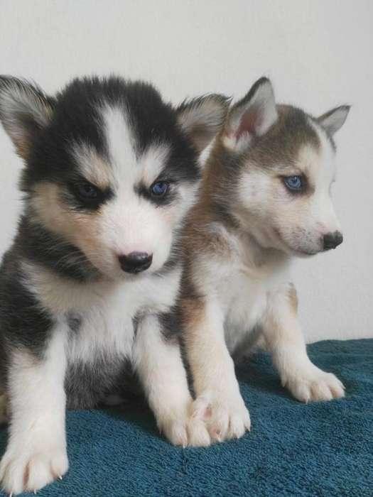fieles cachorritos husky amorosos