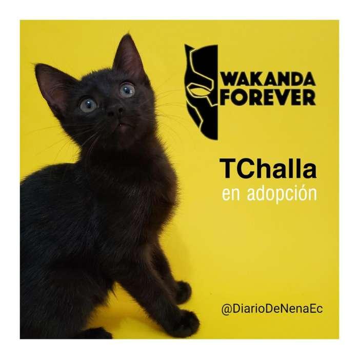Gatito TChalla en adopcion