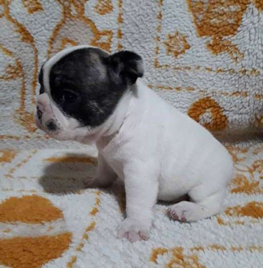 Bulldog frances machito vaquita 3446515156