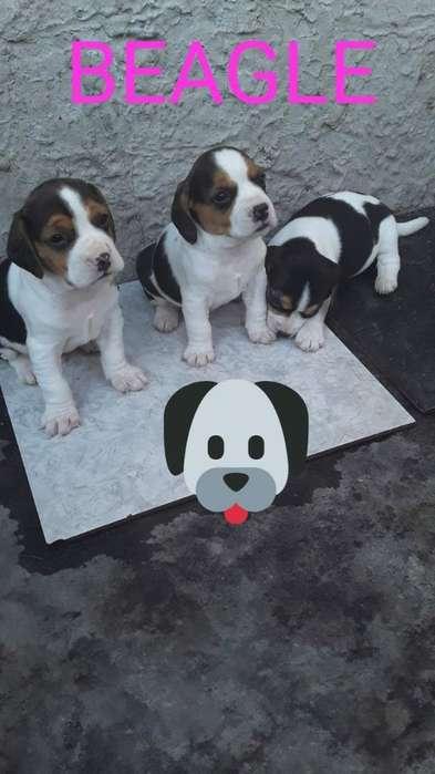 Cachorros <strong>beagle</strong> 13 ,para Entregar Envio