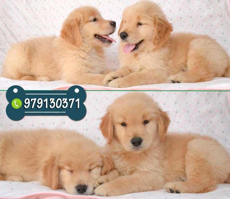 Cachorros Golden Retriever Puros de Excelente Genética *Garantía de Raza y salud