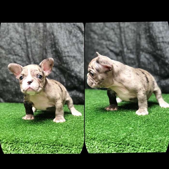 Cachorros <strong>bulldog</strong> Frances Merle