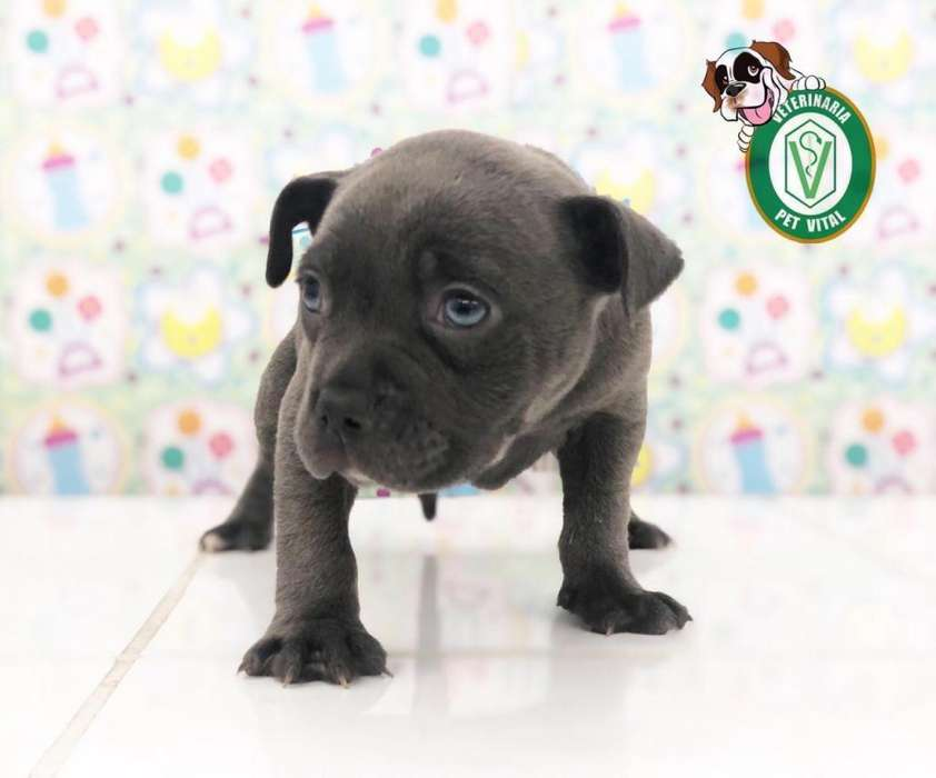 CACHORROS ENCANTADORES PITBULL BLUE NOSE EN PET VITAL !!!