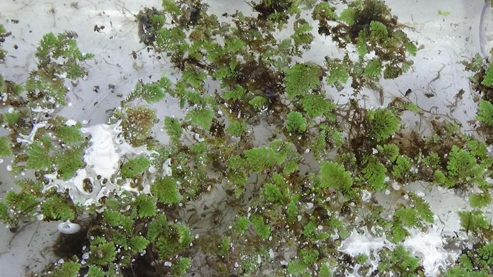 azolla filiculoides <strong>venta</strong> de plantas