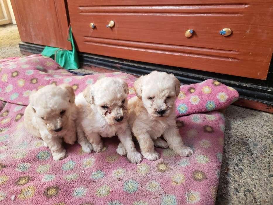 Poodle Cachorros