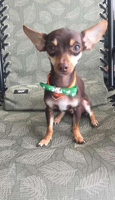 Vendo <strong>perro</strong> Chihuahua