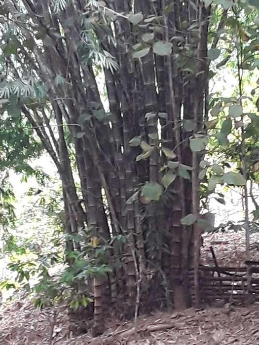 Se Vende Caña Bambu Inf : 0989966493