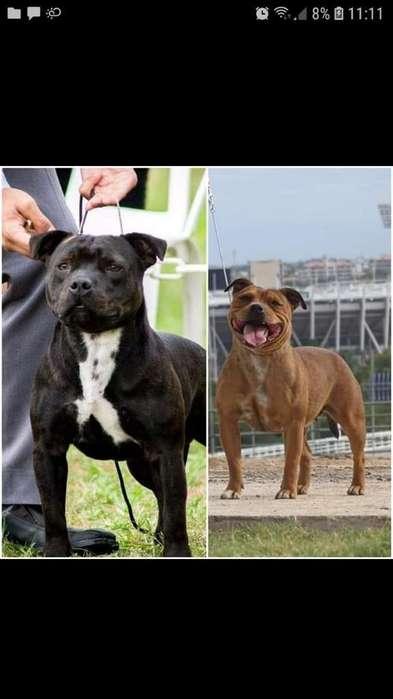 Cachorros Staffordshire Bull Terrier