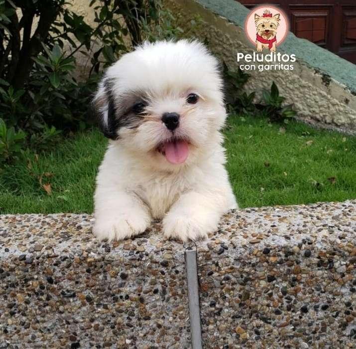 Venta de Hermosos Cachorros Shihtzu Mini