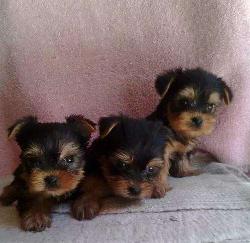HERMOSOS PERRITOS MACHOS YORKSHIRE TERRIER TOY