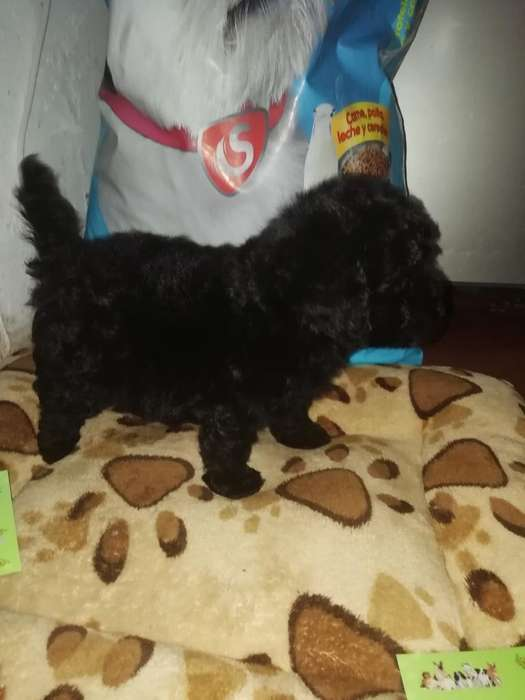 <strong>cachorro</strong>s Mini Toy Negros Disponibles