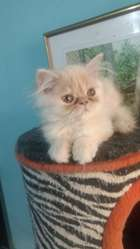 Hermosos Gatos Persa, a Muy Buen Precio