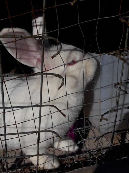 Conejos Neoselandez