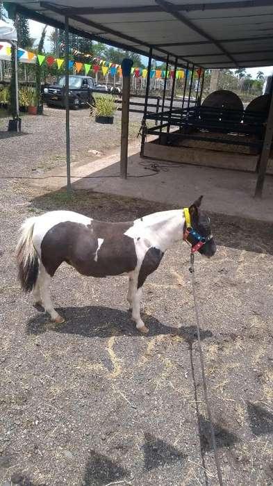 Vendo Pony Gembra