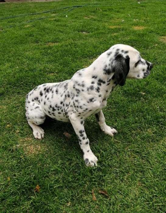 <strong>cachorro</strong> Dalmata