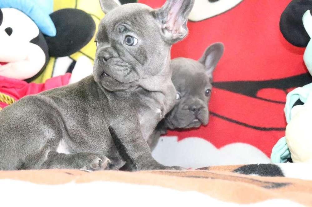 <strong>bulldog</strong> Francés Blue Sólido Ojos Azules