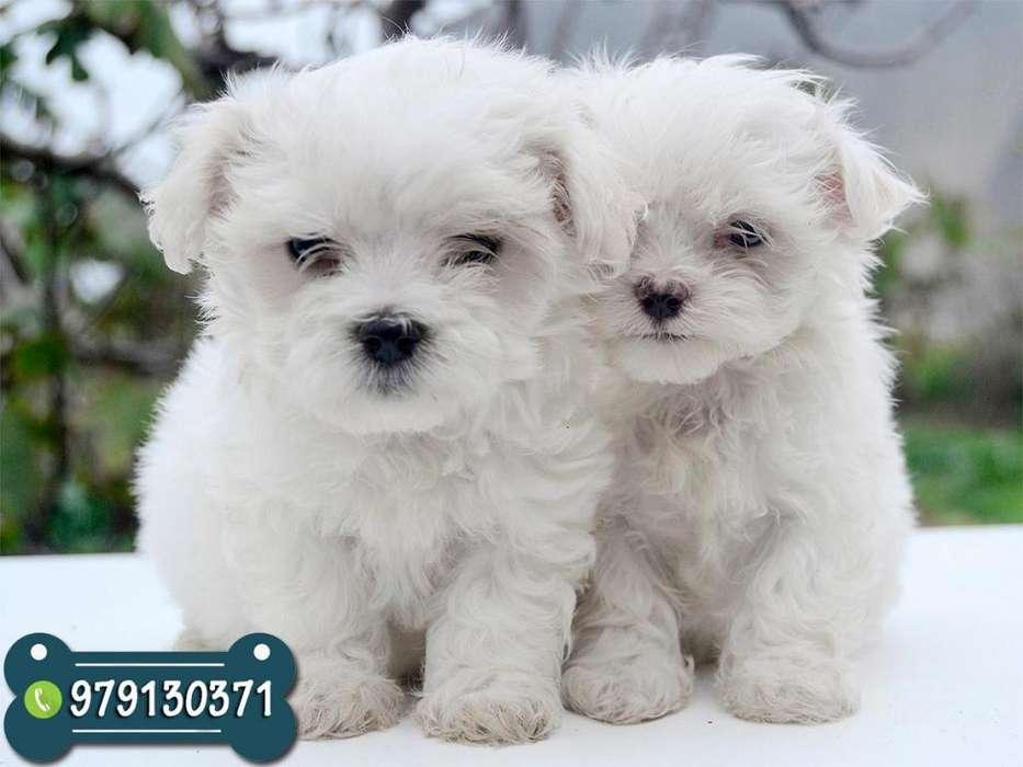 Bellos Cachorros Bichon Maltes Toy *ANTIALÉRGICOS NO BOTAN PELO* Garantía de Raza y Salud