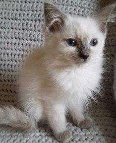 venta de gatos ragdoll cachorros criadero de gatos