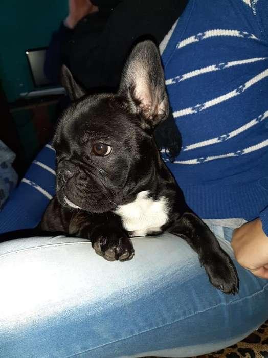 Cachorra Bulldog Frances