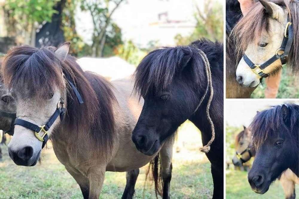 Venata de Caballitos Miniature Horses