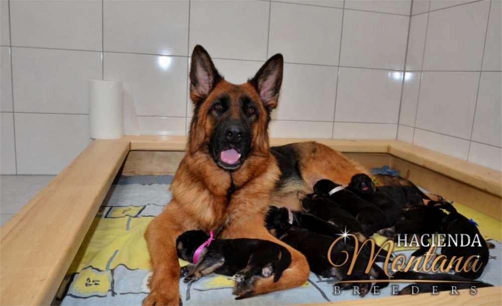 VENTA DE <strong>cachorro</strong>S PASTOR ALEMAN EN CALI