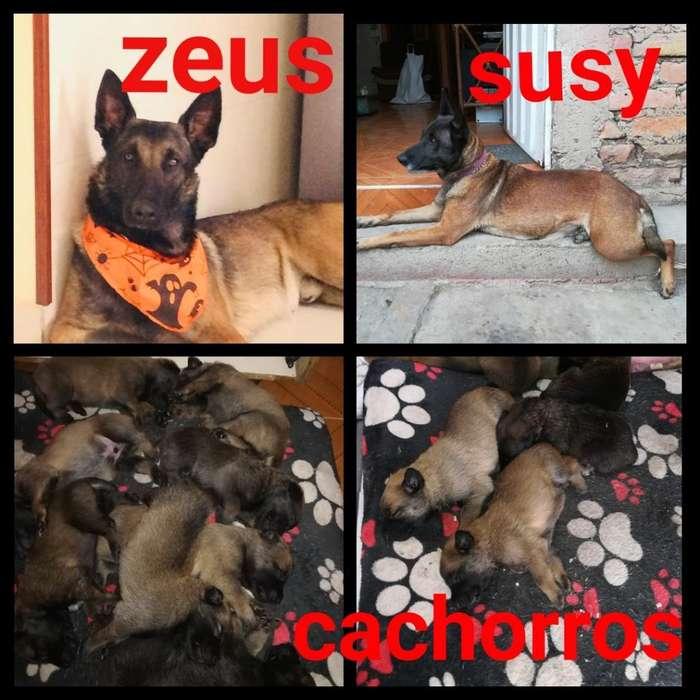 Vendo Hermosos Cachorros Pastor Belga