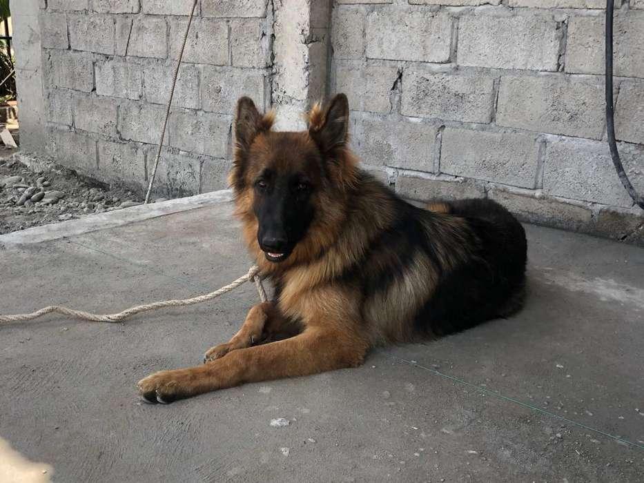 Se vende Cachorro Pastor Alemán 10 meses