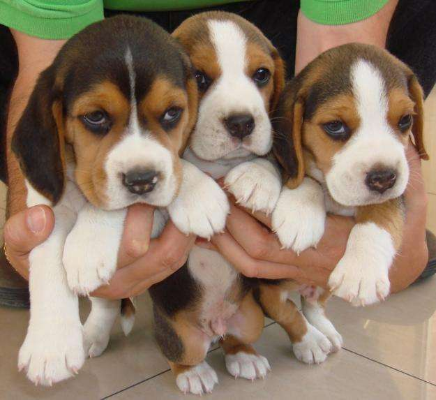cachorritos <strong>beagle</strong> 3 colores