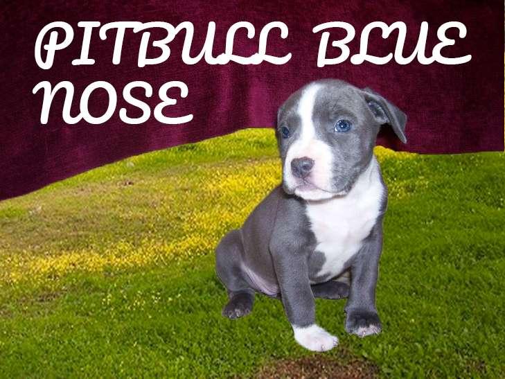 PITBULL BLUE NOSE CACHORRO 2 MESES