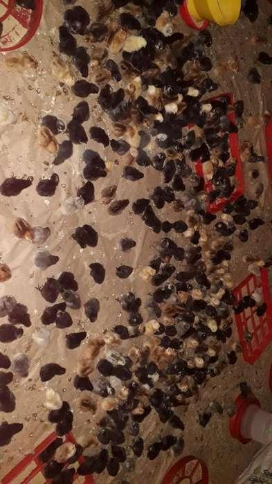 Polla Criolla 1 Dia de Nacidas