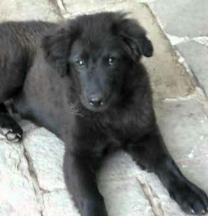 Golden Retriever Negro Doy Adopción