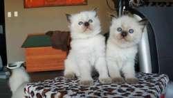 Gatos Ragdoll Cariosos