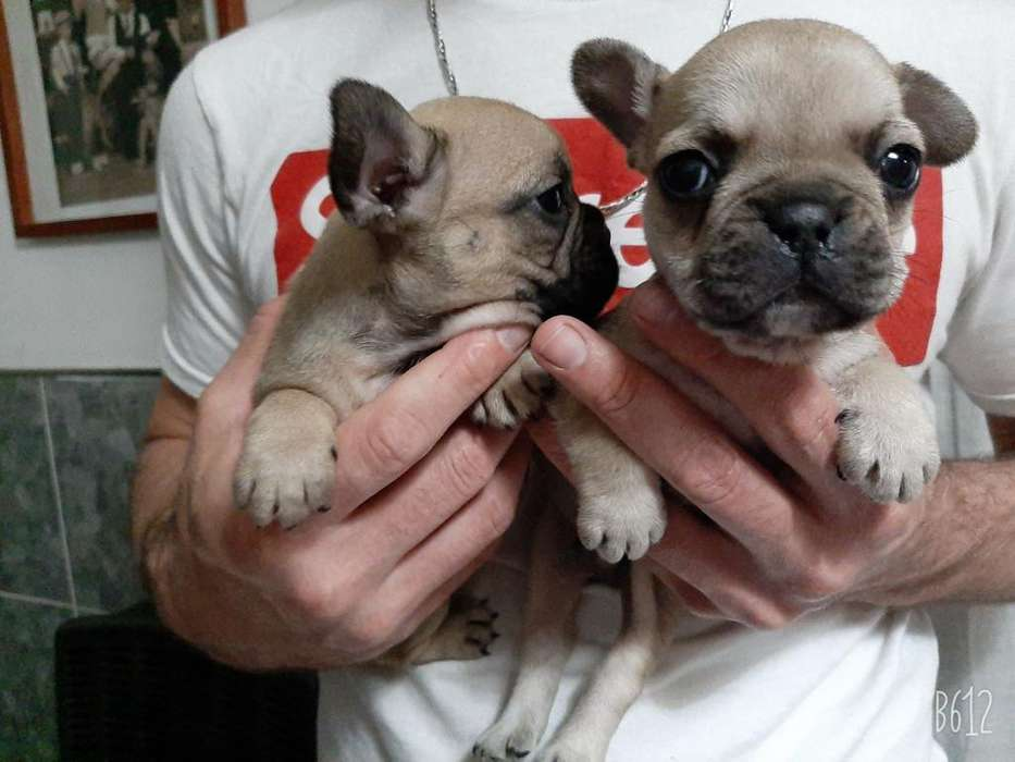 Cachorros <strong>bulldog</strong> Frances Machos Y Hembr