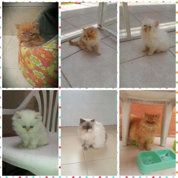 Gatos Gatitos Persa <strong>cachorro</strong>s Y Adultos