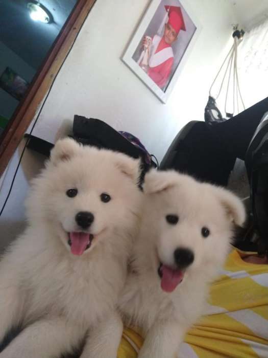 <strong>samoyedo</strong>s Machos Y Hembras