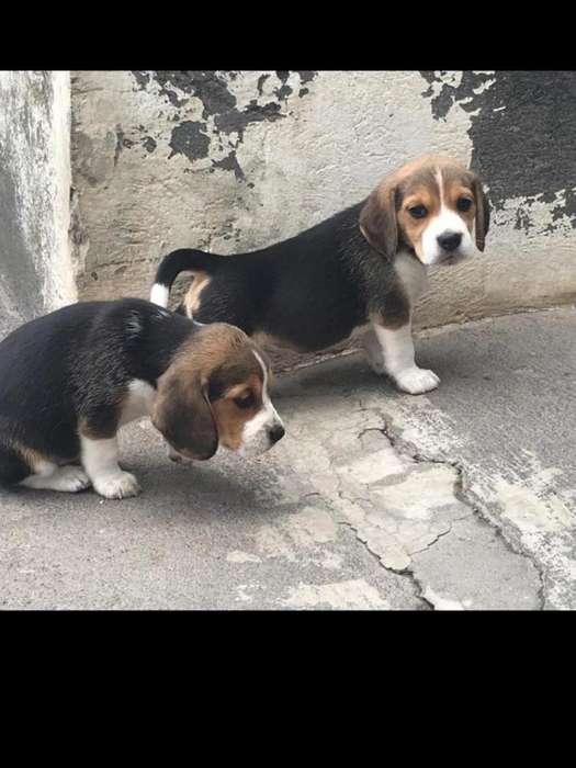 Cachorros Beagle Inglés