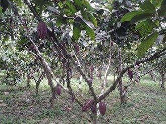 Finca cacaotera en producción
