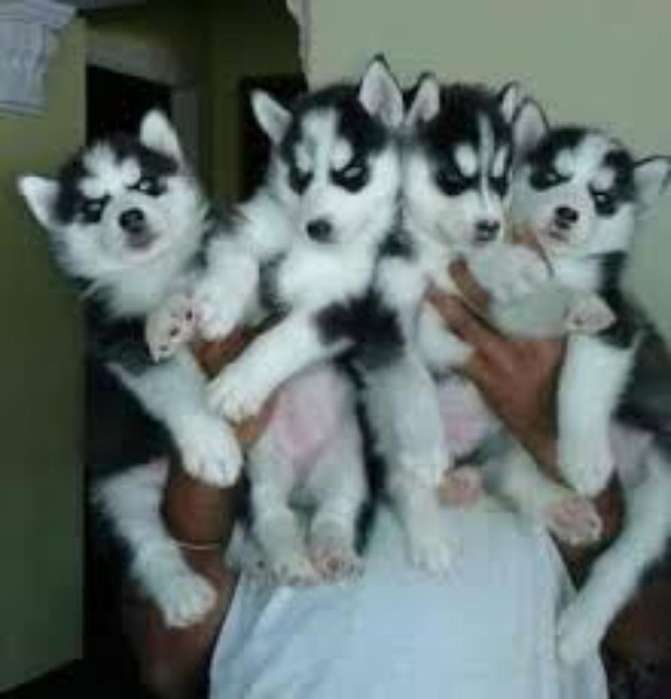 Cachorritos Husky Siberiano Puros