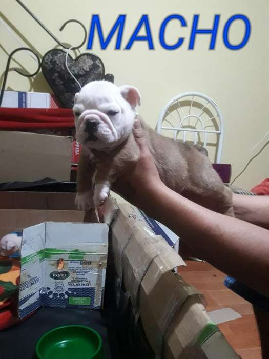 Ultimos 3 <strong>bulldog</strong>s Ingles