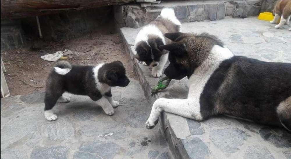 Cachorros Akita pedigree de los padres a la vista