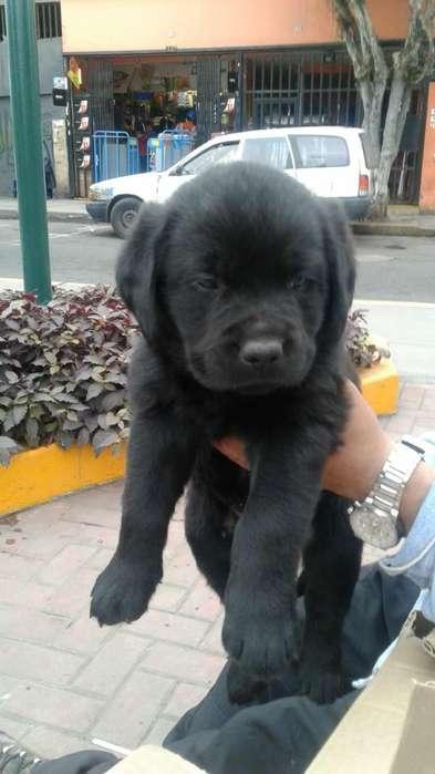 Hermoso Labrador Color Negro Macho