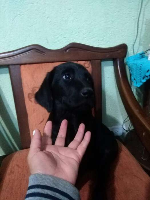 Se Vende Cachorrita Labrador Pura