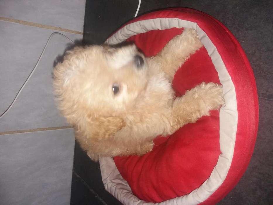 Lindo cachorritos caniches toy 1543995895 julieta