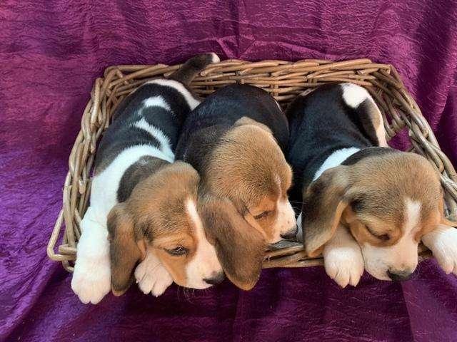 <strong>beagle</strong> hembras y machos tri y limón desparasitados, vacunados y en excelente estado de salud solo x 3212553098