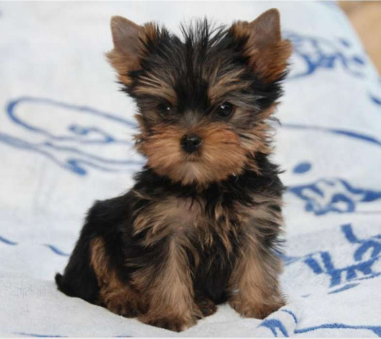 Yorkshire <strong>terrier</strong> Macho Mini
