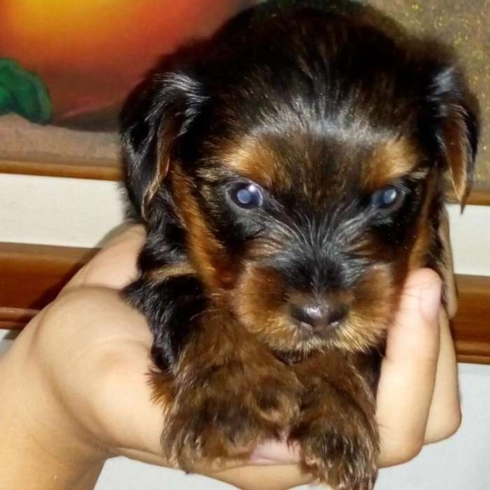Vendo Cachorros Yorkshire <strong>terrier</strong> 900