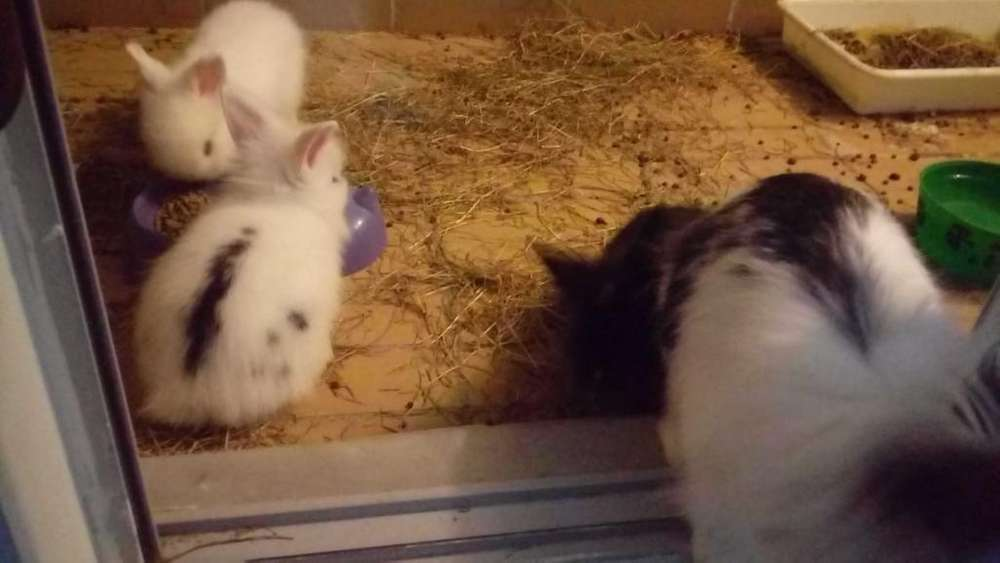 Vendo Conejos Puros Cabeza de Leon