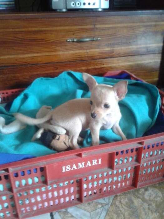 Vendo <strong>perro</strong> Chihuahua de Un Mes Imedii